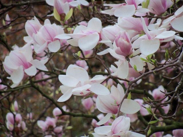 Magnolia May 11, 2013 katherinewikoff.com