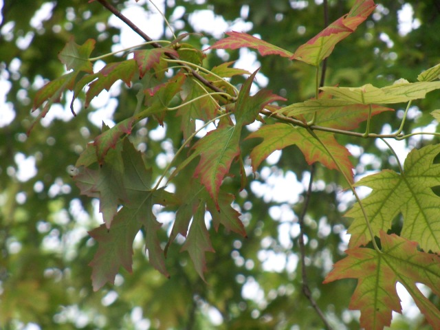 red-tinged silver maple leaves