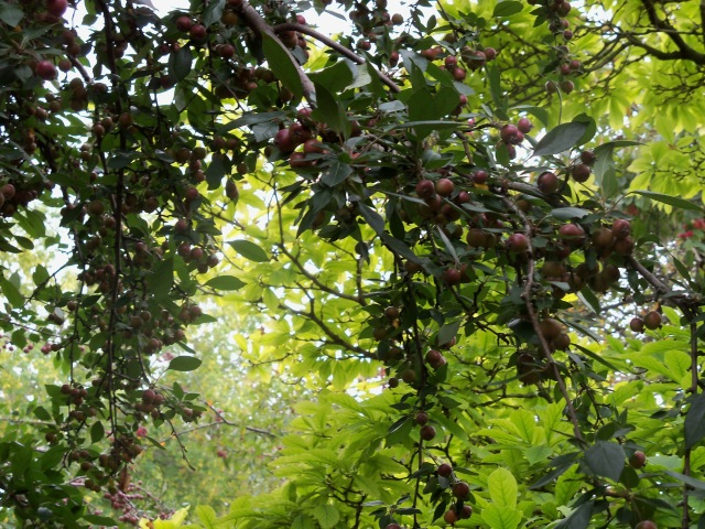 crab apple bounty