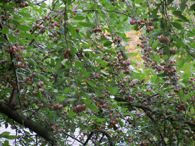 LOTS of crab apples!
