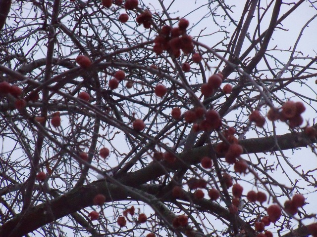 crab apples 1