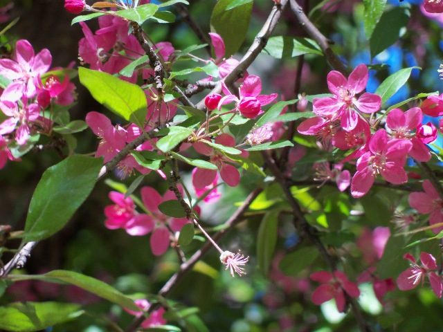 more crab apple blossoms