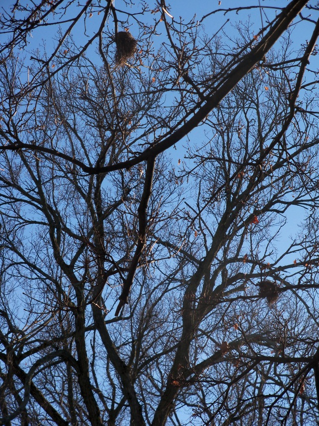Two birds' nests in winter