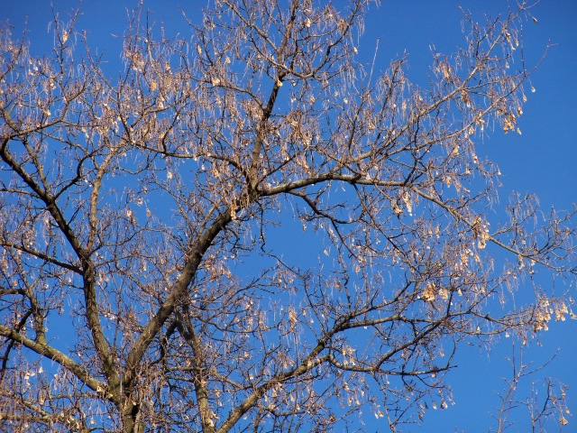 Female Box Elder in Winter