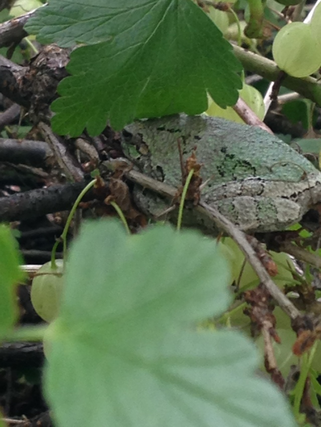 frog on gooseberry bush branch