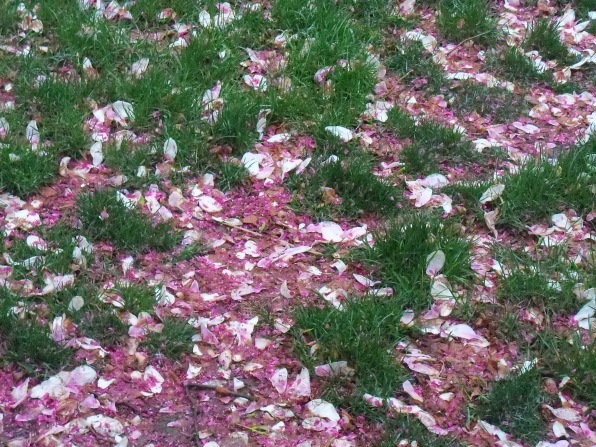 fallen magnolia petals and crab apple blossoms in wet grass