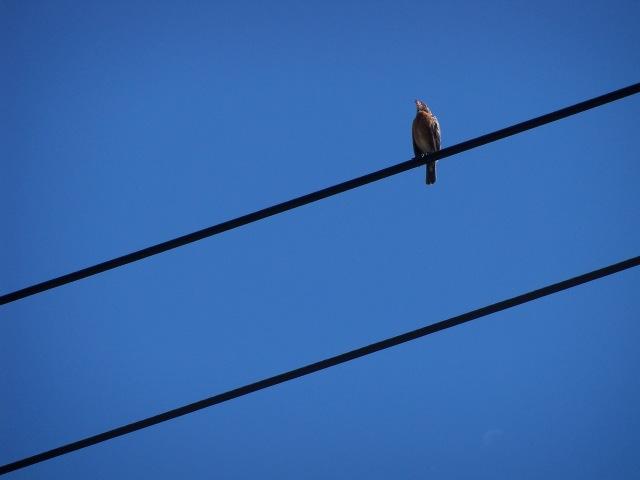 bird singing on power lines