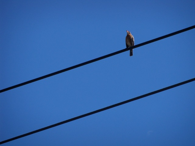 bird singing on power lines